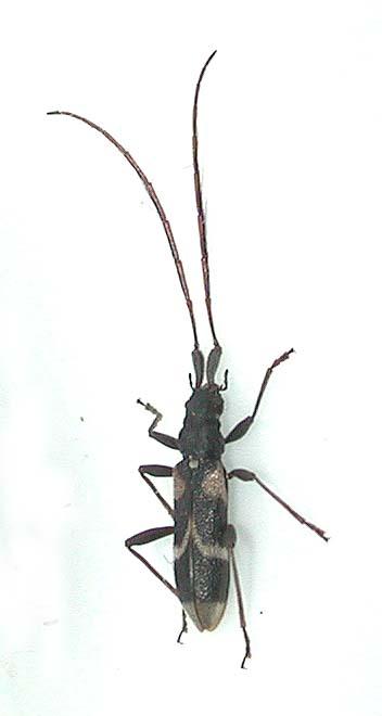 オオクボカミキリ