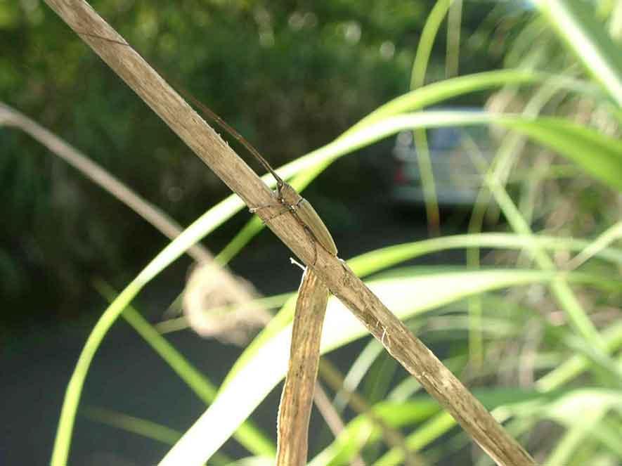 オオシマドウボソカミキリ