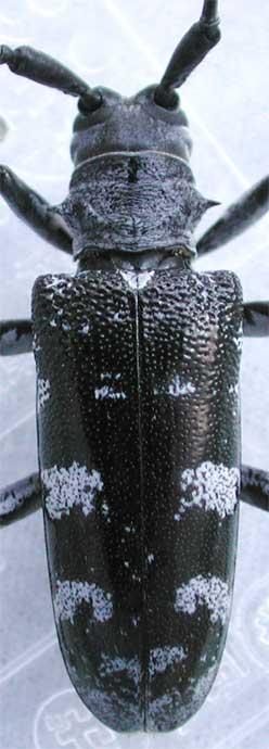 オオスミヒゲナガカミキリ