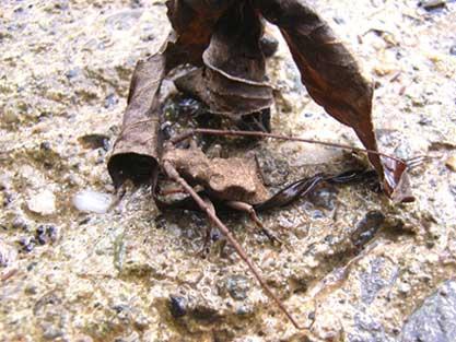サヌキセダカコブヤハズカミキリ