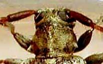 シラオビゴマフケシカミキリ