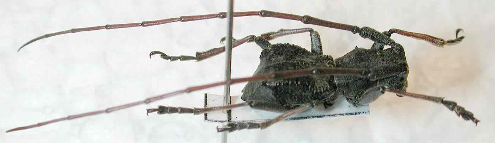 ソボセダカコブヤハズカミキリ
