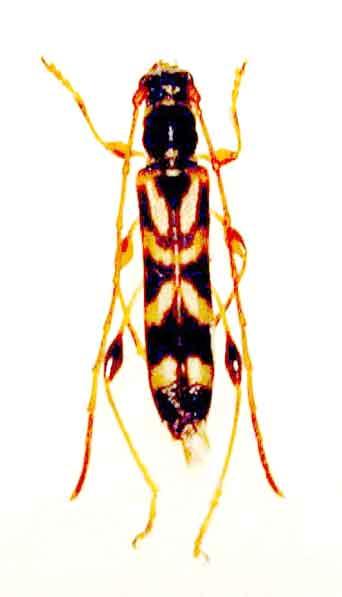 タキグチモモブトホソカミキリ