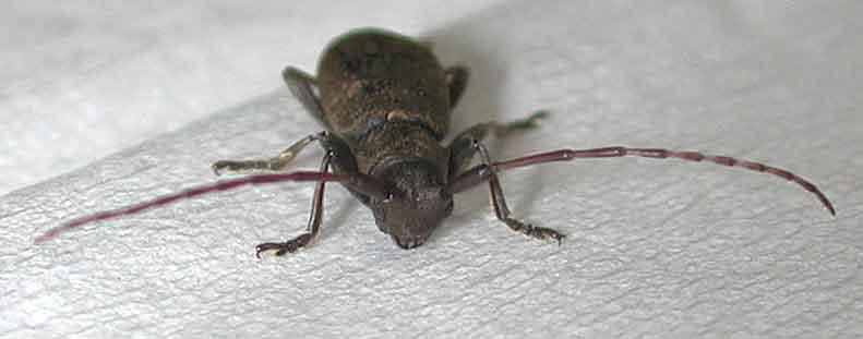 ツチイロフトヒゲカミキリ
