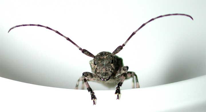 ヨツボシシロオビゴマフカミキリ
