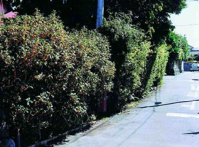 鵠沼、金木犀の住宅街