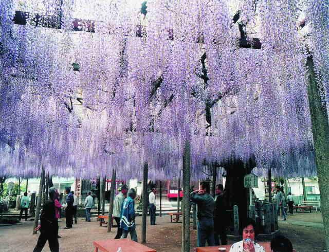 山崎大歳神社の千年藤