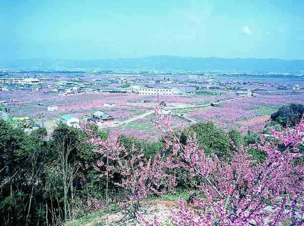 桃源郷一目十万本の桃の花