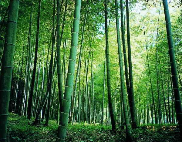 合馬竹林公園の竹と風