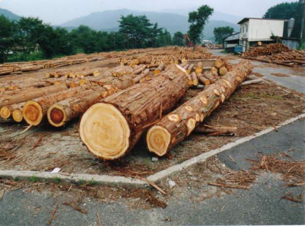 加子母村の檜とササユリ