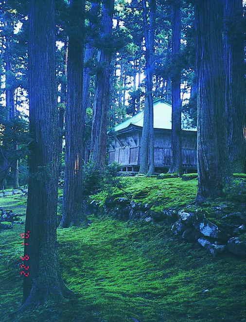 白山神社境内菩提林の杉と蘚苔