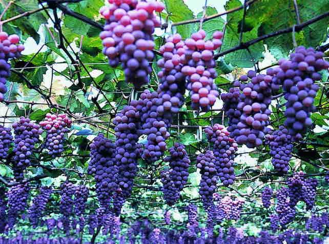 勝沼・一宮のぶどう畑とワイン