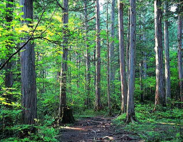 赤沢自然休養林の木曽ヒノキ