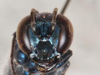 ヤマトルリジガバチ