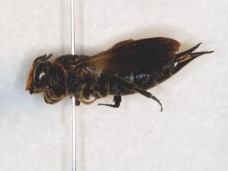 オオトガリハナバチ