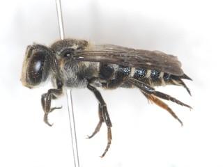 ヤノトガリハナバチ