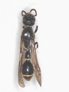 ヤマトフタスジスズバチ