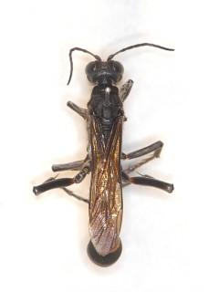 ミカドジガバチ