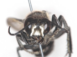 コクロアナバチ