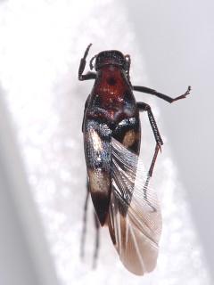 フタオビオオハナノミ