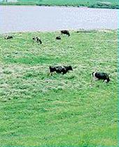 河川敷酪農