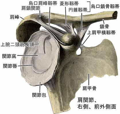 上肢帯の靱帯結合