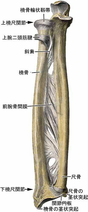 橈尺靱帯結合