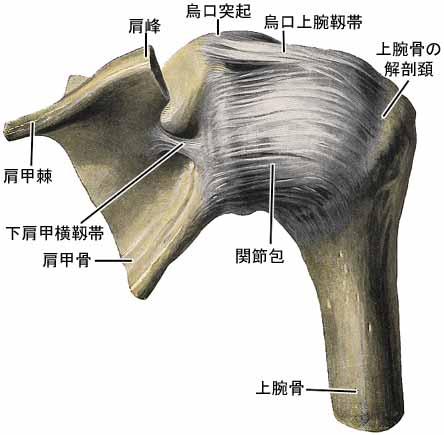 「肩関節 関節包」の画像検索結果