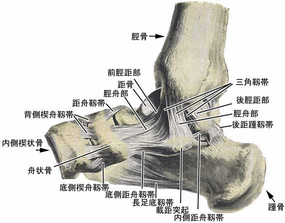 「足の解剖図 内側」の画像検索結果