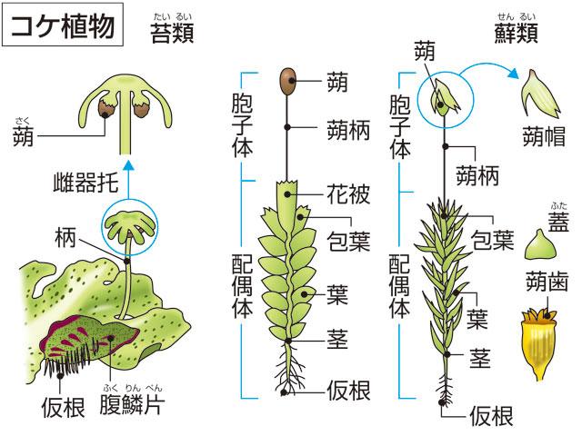 植物 特徴 コケ