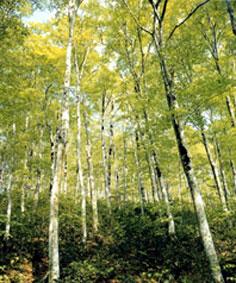 赤祖父山のブナ林