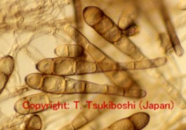 チモシー葉枯病菌