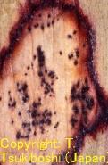 アマドコロ褐色斑点病菌