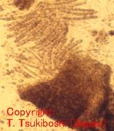 イネ科黒ごま病菌
