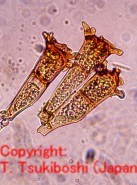 エンバク冠さび病菌
