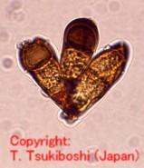 イネ科黒さび病菌