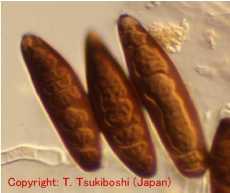 イネ科斑点病菌