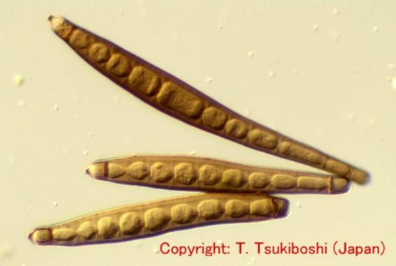 イネ科葉上生息菌