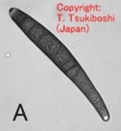 キビ長斑点病菌