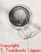 マメ科根腐病菌