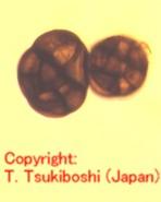 クローバ輪紋病菌
