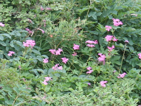 赤花下野草