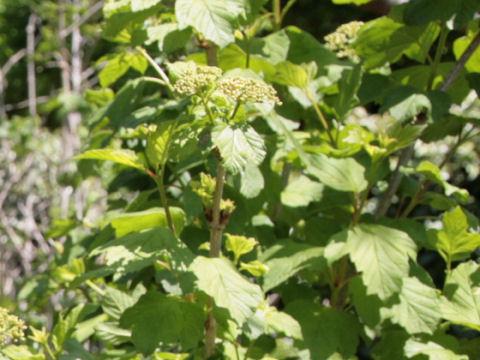 Viburnum trilobum