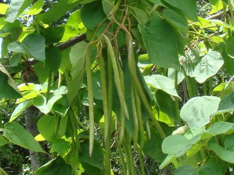 アメリカ木大角豆