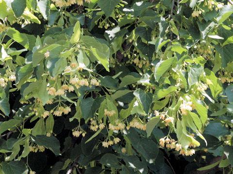 アメリカ科の木