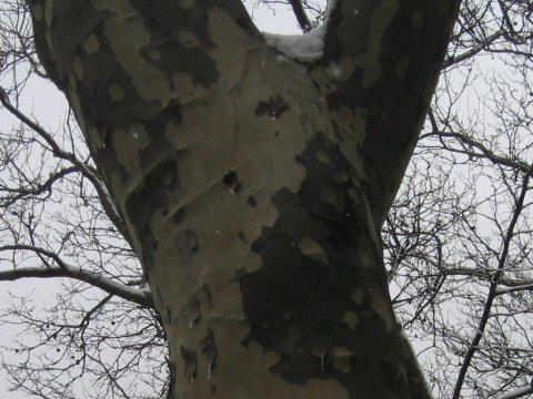 アメリカ鈴懸の木