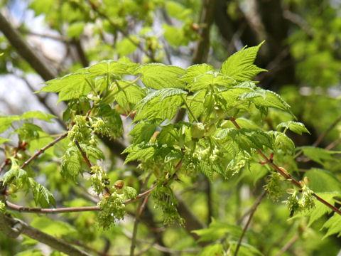 Acer Argutumアサノハカエデはどんな植物weblio辞書