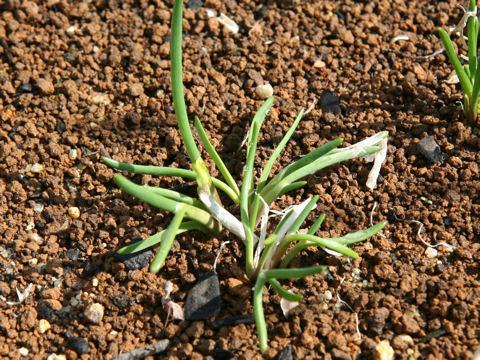 Allium schoenoprasum var. foliosum