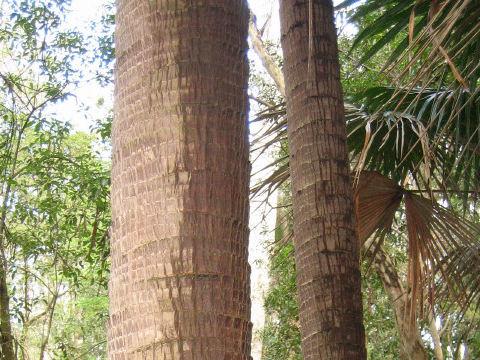 オーストラリア檳榔