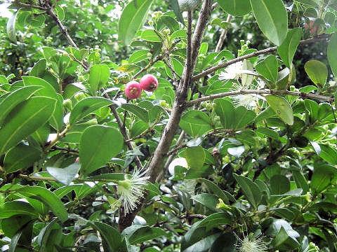 オーストラリア蒲桃